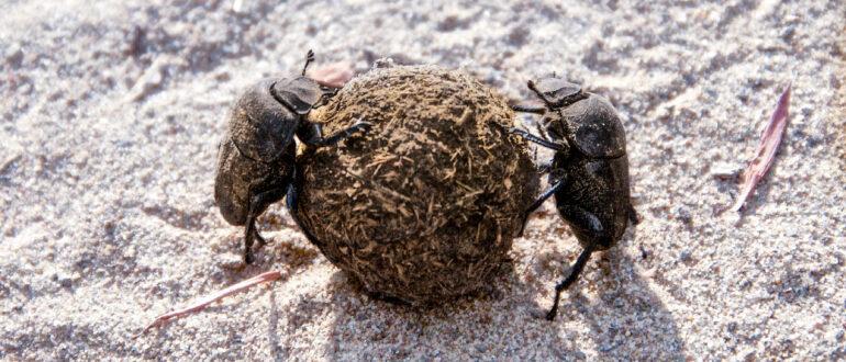 Жуки скарабеи катят шарик из навоза