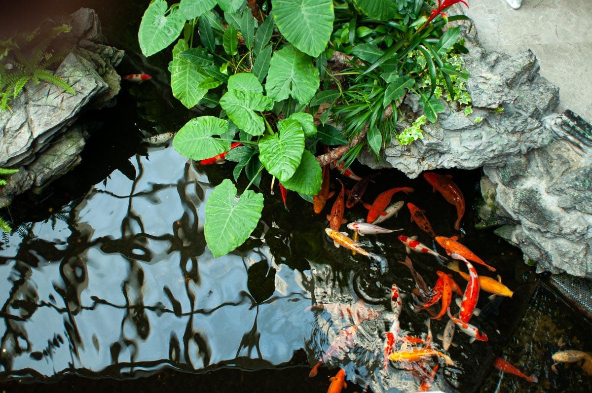 Золотые рыбки в пруду отеля